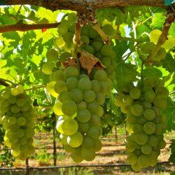 Viognier-Vino-Farms-113111